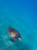 Sea Turtle Underwater Swimming Over Sandy Bottom