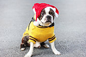 Cute dog boston terrier in yellow sweater and Santa hat sitting