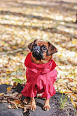 Dog small brabanson with chestnut color wearing in red overall a