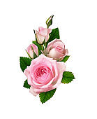 Pink rose flower and buds in romantic arrangement