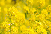 Vegetable flower fields with beautiful yellow