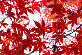 Close-up of a beautiful red maple with autumn leaves