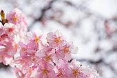 Kawazu cherry tree in full bloom