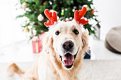 dog with deer horns, selective focus of christmas tree