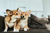 close up view of welsh corgi dogs on sofa in living room at home