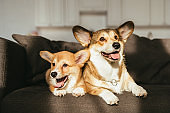 welsh corgi dogs sitting on sofa under sunlight at home