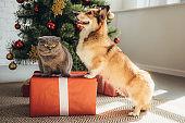 cute welsh corgi dog and scottish fold cat on gift box near christmas tree