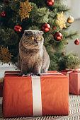 cute fluffy scottish fold cat sitting on present near christmas tree