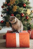 scottish fold cat sitting on gift box near christmas tree