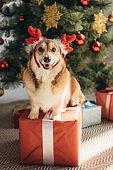 funny welsh corgi dog in deer horns sitting on gift box under christmas tree