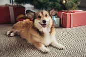 cute welsh corgi dog lying under christmas tree with presents