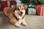 cute furry corgi dog lying under christmas tree with gift boxes