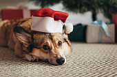 cute welsh corgi dog in santa hat lying under christmas tree