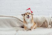 pembroke welsh corgi in santa hat on sofa with white background
