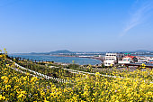 View of the yellow canola flowers field on the hill and the village beside the sea at Jeju island, South Korea