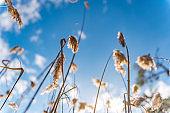 Marmaris, Mugla - Turkey. January 25, 2018. The reeds (Gynerium sagittatum -  Cortaderia selloana )  and sky in Marmaris National Park, Mugla - Turkey