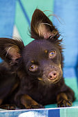 Toy Terrier little puppy dog looking at camera. lies on green background