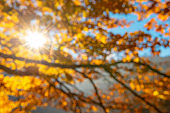 Sunshine through autumn leaves out of focus