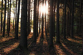 Tree trunks and sun rays in autumn forest