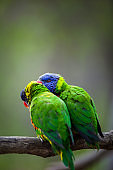 A pair of Rainbow Lorikeets fighting/playing/teasing each other