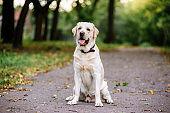 Labrador dog outdoors the autumn
