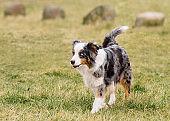 Australian Shepherd on meadow
