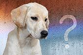 question mark inscription on wet glass, sad dog breed Labrador