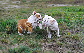 Two english bulldog puppies playing on the lawn