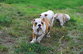Three english bulldog puppies playing on the lawn