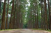 pine tree trunk in coniferous forest