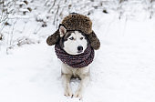 Image of Funny husky dog is in cap with ear-flaps.