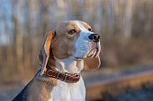 Beagle dog on a walk in the spring at sunset