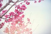 Close up Cherry Blossom or Sakura flower on nature background, Spring.