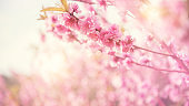 Close up Cherry Blossom or Sakura flower on nature background, Spring.
