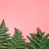 Tropical green davallia leaves nature on pink background with summer and spring concept, copy space, Top view, Flat lay.