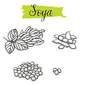 Beautiful vector hand drawn Soya, bean.
