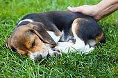 Cute beagle puppy sleeping