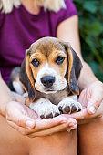 Tricolor purebred beagle puppy