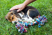Cute beagle puppy on the grass