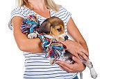 Tricolor beagle puppy