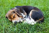 Beagle puppy sleeping