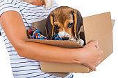 Tricolor beagle puppy in a box
