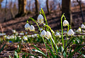 Beautiful blooming of White spring Snowflake