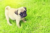 Cute puppy brown Pug