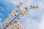 sakura flower in springtime