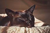 Sleeping cat in the rays of the sun. Portrait. Burvese cat.