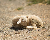 little goat sleeps