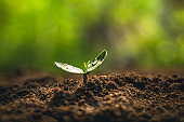 Fresh Sapling young plant on the soil nature  background