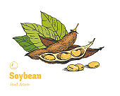 Soybean hand drawn illustration set