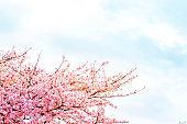 Beautiful cherry blossom sakura in spring time over sky.Cherry blossom in full bloom.